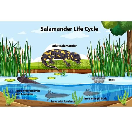 diagram showing salamander life cycle
