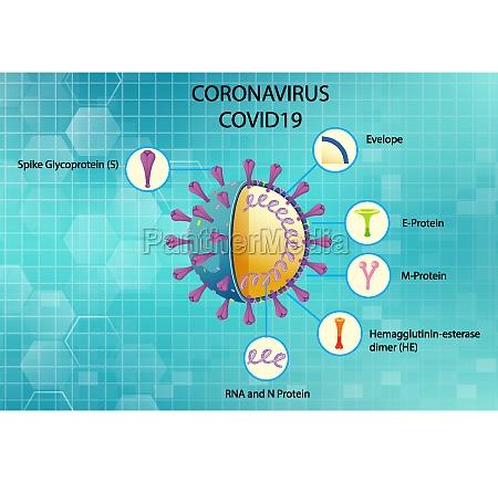 diagram of corona virus particle structure