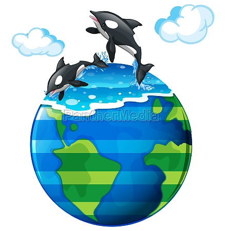 two killer whales swimming in the