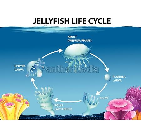 jellyfish life cycle diagram