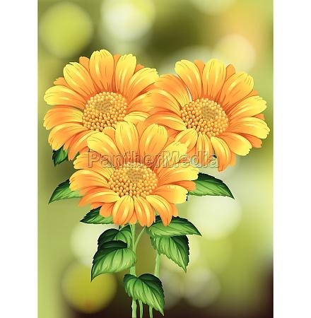 beautiful sunflower on nature background