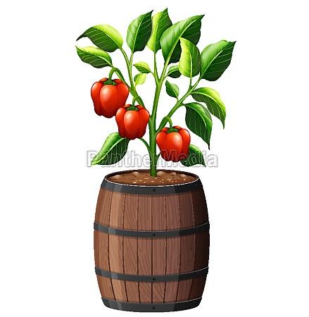 sweet pepper plant in wooden pot