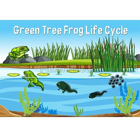 green tree frog life cycle