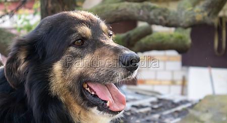 portrait of an adult large dog