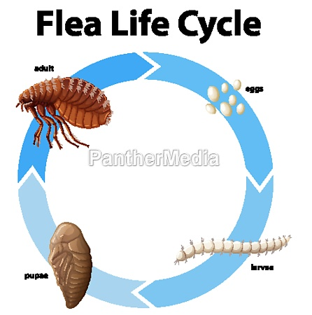 diagram showing life cycle of flea