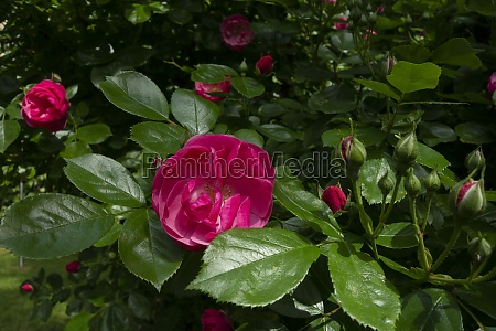 rose flowering plant without thorns