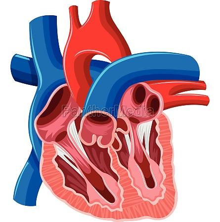 inside diagram of human heart