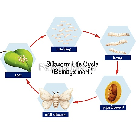 science silkworm life cycle