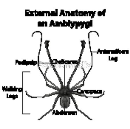 external anatomy of an amblypygi on