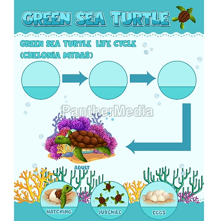 diagram showing life cycle of turtle