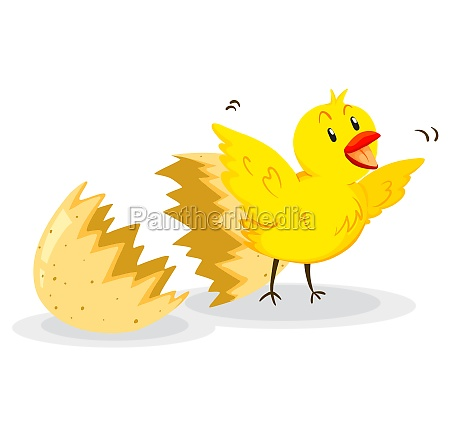 little chick coming out of the