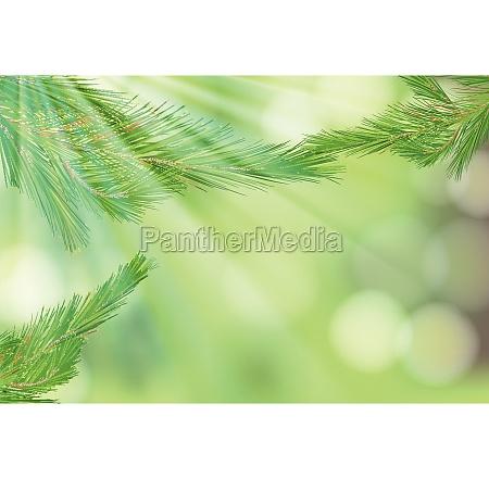 pine tree leaf on nature background
