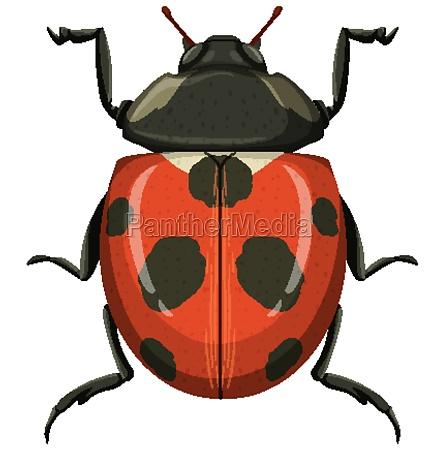red ladybug or ladybird isolated on
