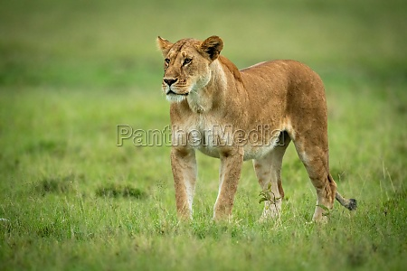 lioness stands on short grass staring