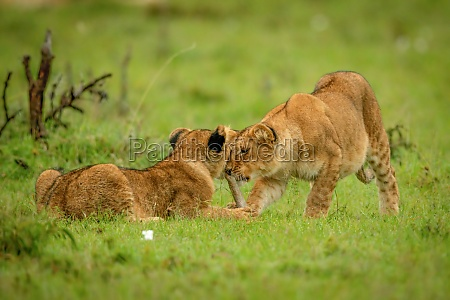 lion cubs fight over stick in