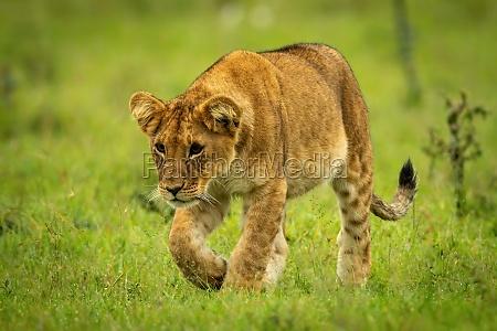 lion cub walks over grass lifting