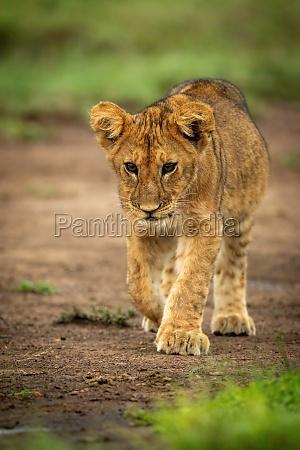 lion cub walks across dirt lifting