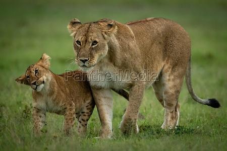 lion cub walks beside lioness shaking