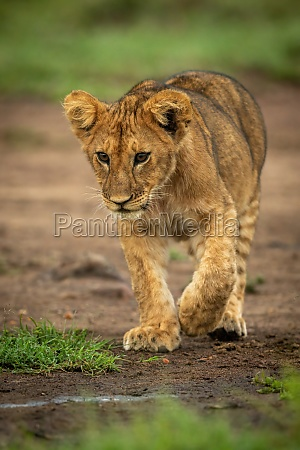 lion cub walks on dirt lifting