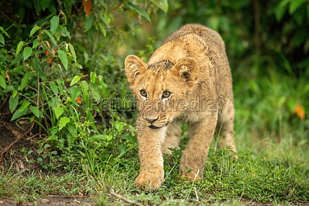 lion cub walking past bush staring