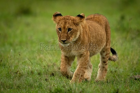 lion cub walking in grass raising