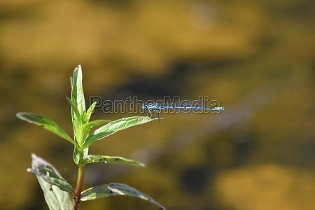 azure azure damselfly sitting on a