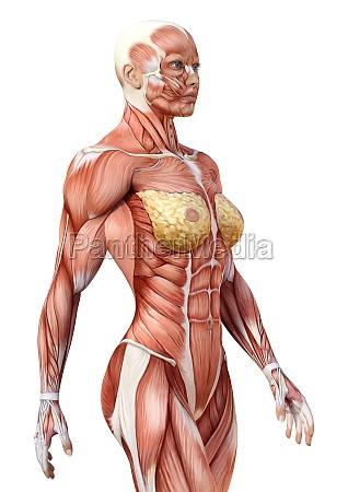 3d rendering female anatomy figure on