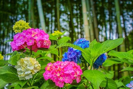 colorful hydrangea rainy season image