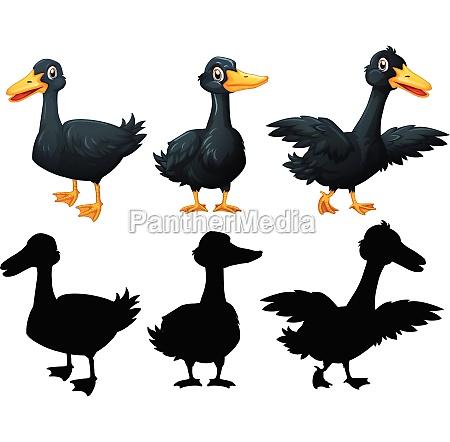 set of black duck on white
