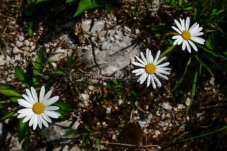 three white flowers in the mountains