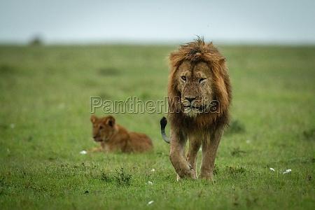 male lion walks away from lion