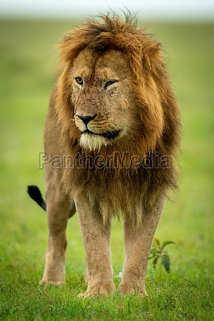 male lion with damaged eye stands