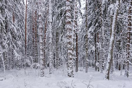 wintertime landscape of snowy coniferous tree