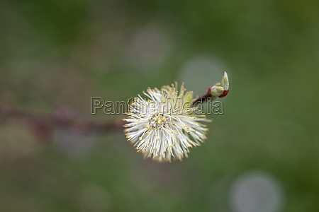 very young willow catkins blossom