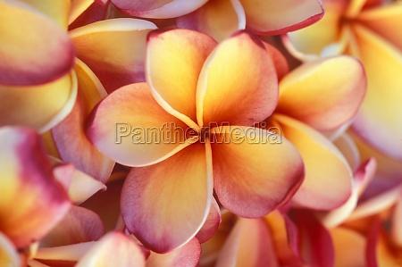 close up of frangipani flowers