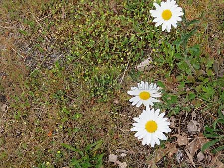 yellow white daisy flower delicate pretty