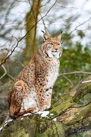 eurasian lynx in forest habitat