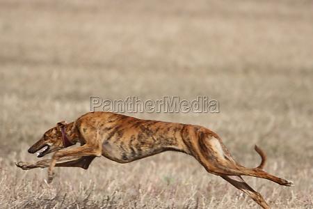 beautiful fast spanish greyhound dog energy