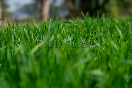 young wheat plants growing on the