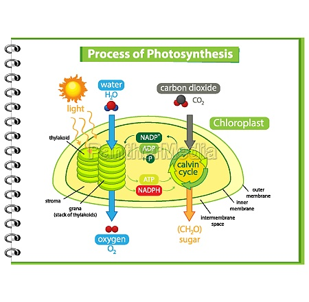 diagram showing process of photosynthesis in