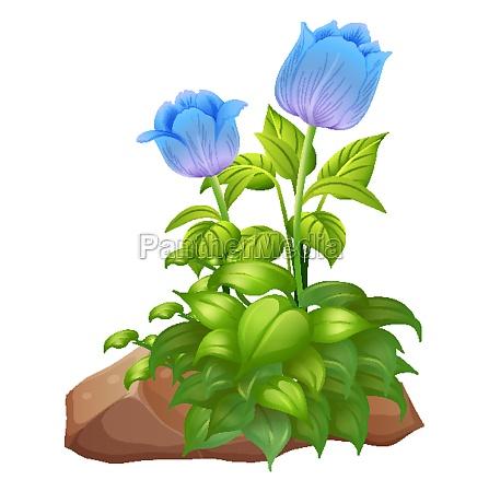 blue tulip flowers and rocks on