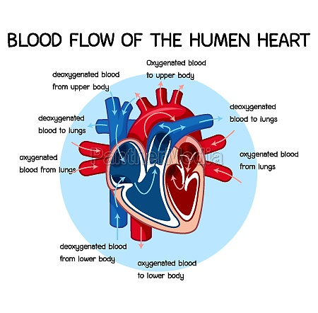 diagram of blood flow of the