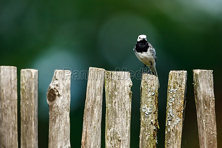 a wagtail on a fence