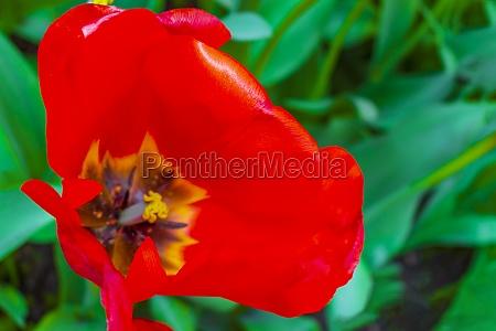 many colorful tulips daffodils in keukenhof