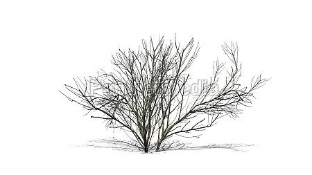 kousa dogwood in winter with shadow