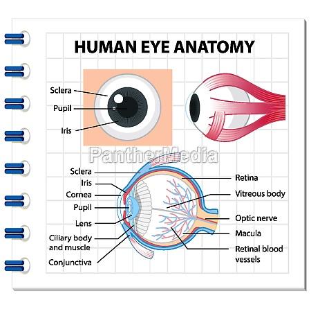 diagram of human eye anatomy with