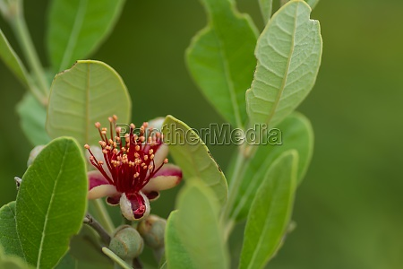 fresh, blossom, from, a, apple, guava - 30557538