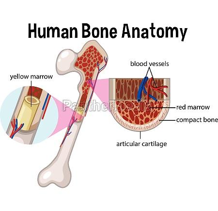human bone anatomy and diagram