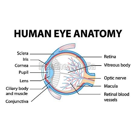 diagram, of, human, eye, anatomy, with - 30561244