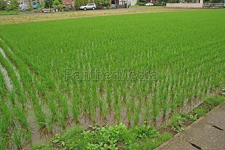 suburban family rice paddy field
